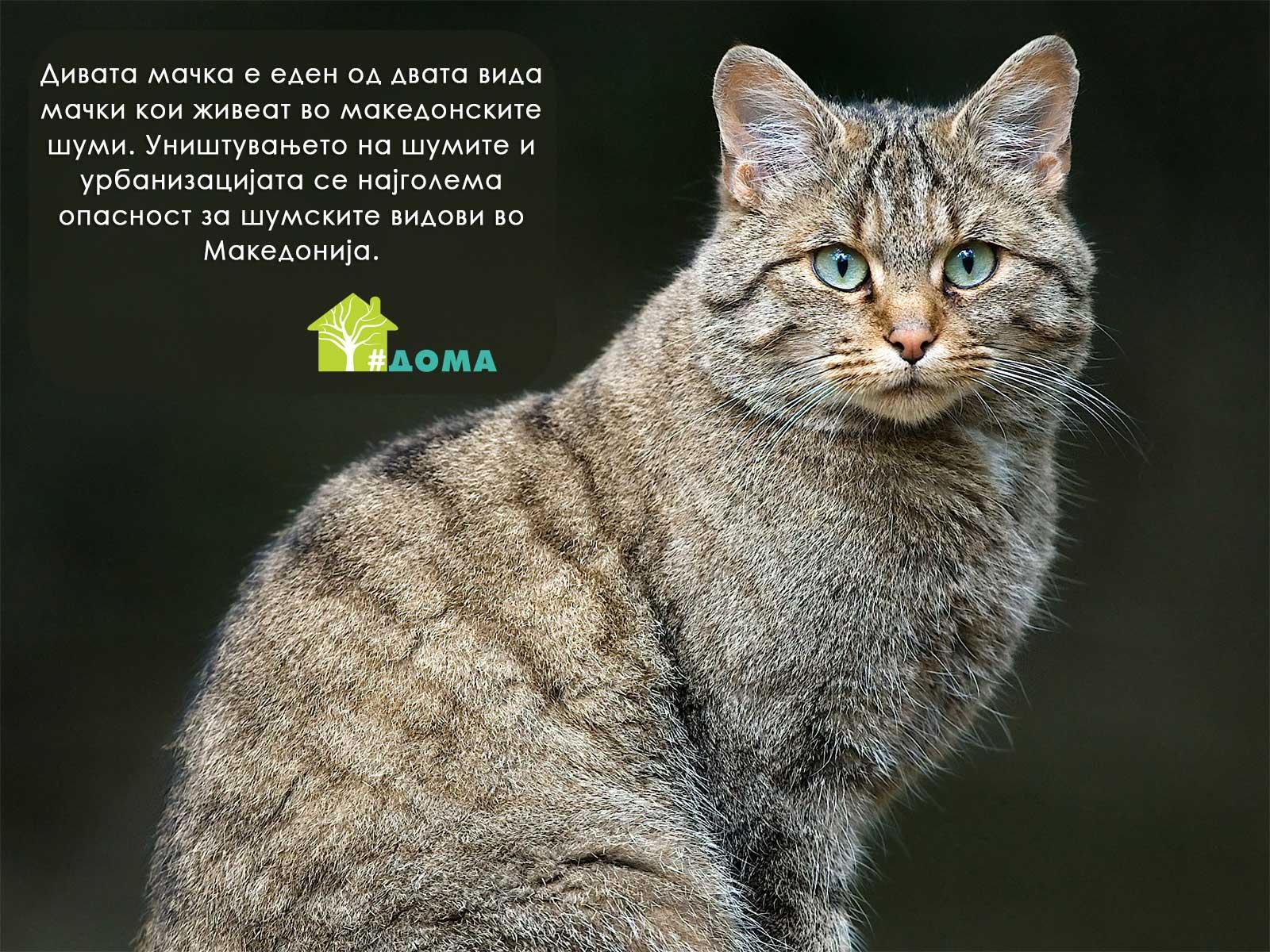 Diva macka Zastita na divite macki vo Makedonija