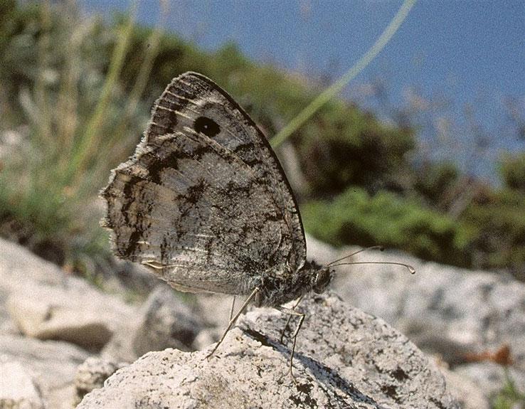 Pletvar beliot rudnik na makedonskiot biodiverzitet peperutka