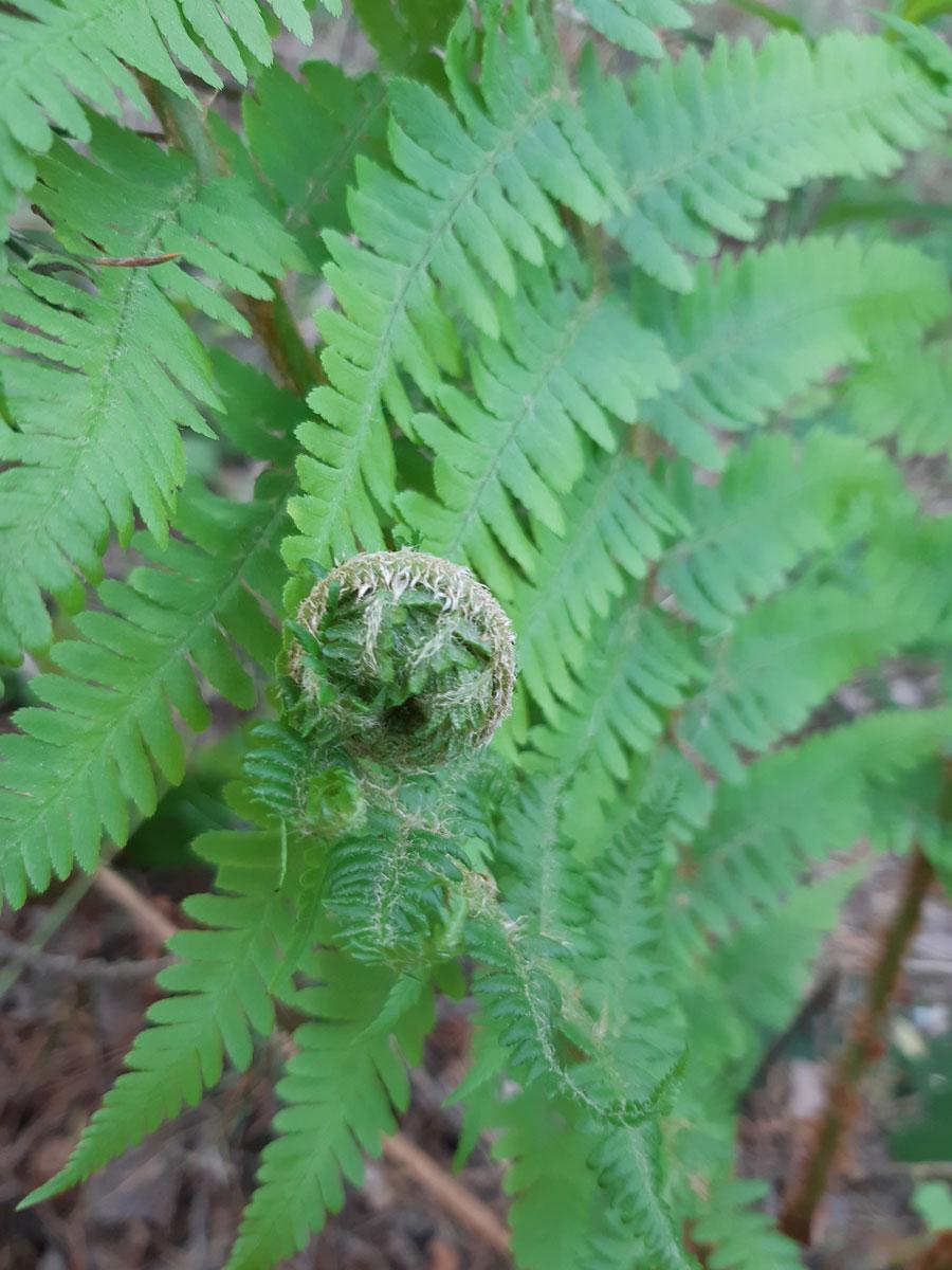 paprat Dryopteris filix mas