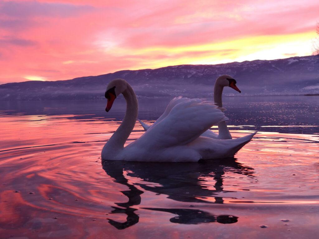 Црвеноклун лебед